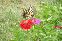 Butterfly and Zenias