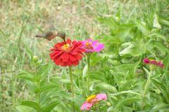 Hummingbird and Zenias
